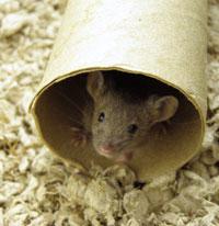 Raton escondido